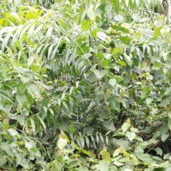 Rattan tree - Pohon rotan